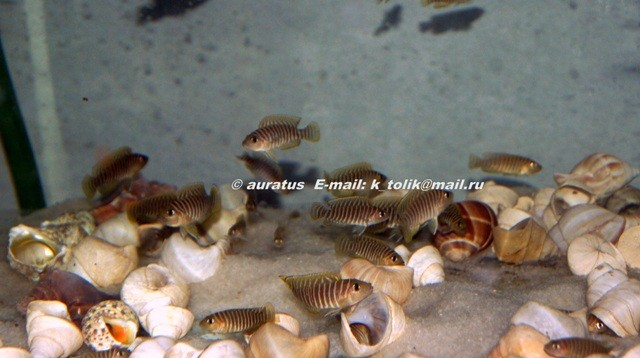 лампрологус, лампрологус симилис, lamprologus, lamprologus similis