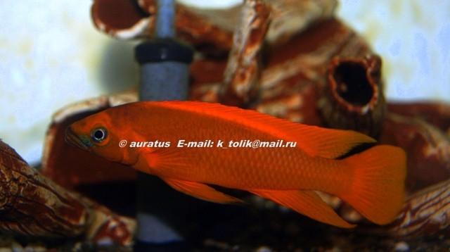 Neolamprologus leleupi orange (самец, производитель)