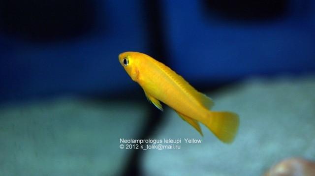 неолампрологус, неолампрологус лелеупи, лелеупи оранж, неолампрологус оранж, Neolamprologus, Neolamprologus leleupi, Neolamprologus yellow, leleupi yellow