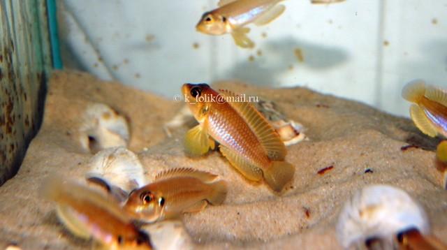 Lamprologus ocellatus orange взрослые