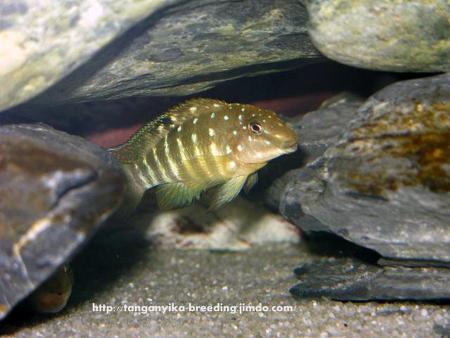 Tanganicodus irsacae Nyanza lac