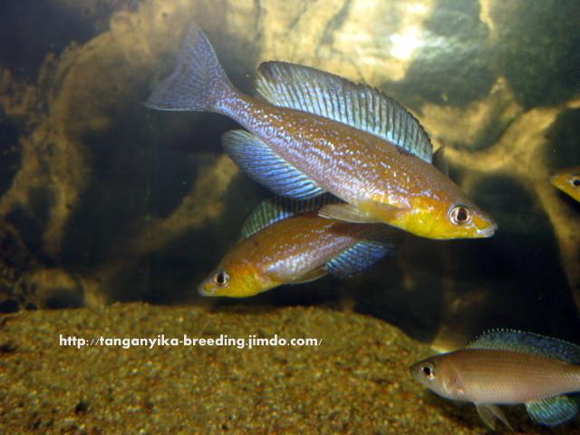 циприхромис, циприхромис микролепидотус, циприхромис микролепидотус карамба, cyprichromis, cyprichromis microlepidotus, cyprichromis microlepidotus caramba
