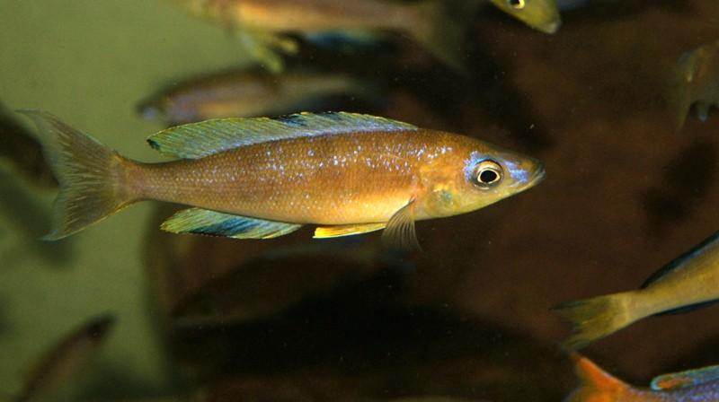 Cyprichromis microlepidotus 'Mabilibili'