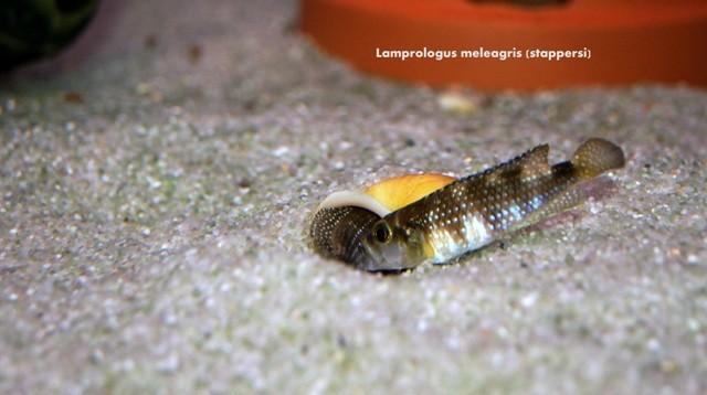Lamprologus meleagris (stappersi)