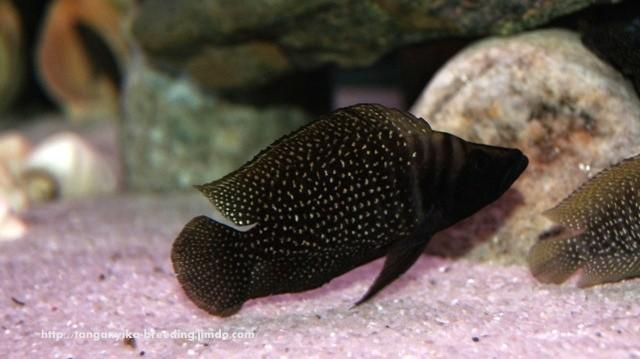 altolamprologus, altolamprologus calvus, altolamprologus calvus black, altolamprologus calvus black pectoral, альтолампрологус, альтолампрологус кальвус, альтолампрологус кальвус блэк