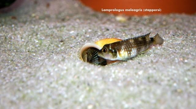 лмпрологус, лмпрологус стапперси, лмпрологус стапперси мелеагрис, лмпрологус мелеагрис, лмпрологус мелеагрис стапперси, lamprologus, lamprologus stappersi, lamprologus stappersi meleagris, lamprologus meleagris