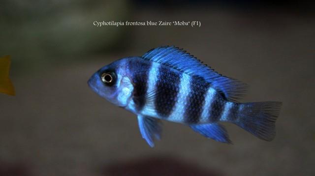 Cyphotilapia gibberosa blue Zaire Moba (размер 3-4см)