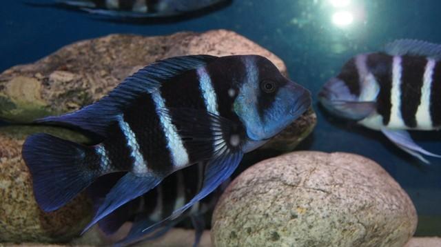 Cyphotilapia gibberosa blue Zaire Moba wild молодой самец