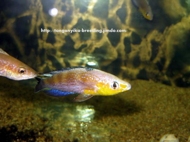 Cyprichromis microlepidotus Kavala