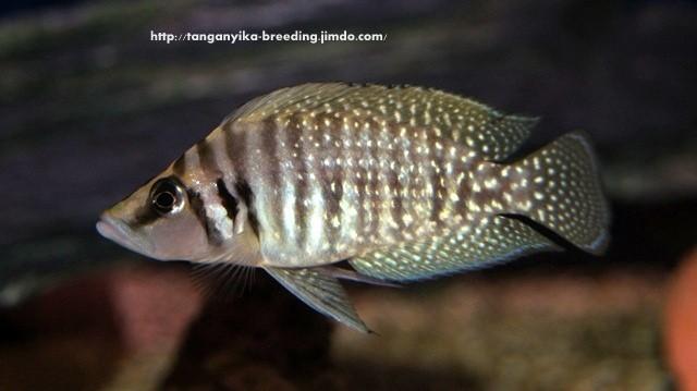 Altolamprologus calvus white (молодой самец)
