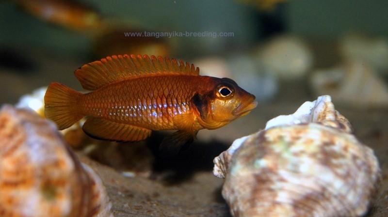 Lamprologus ocellatus orange