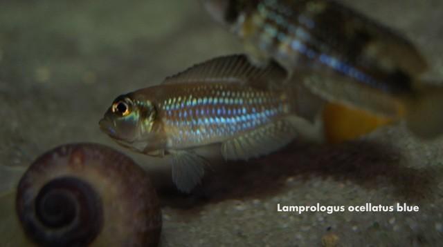 Lamprologus ocellatus blue