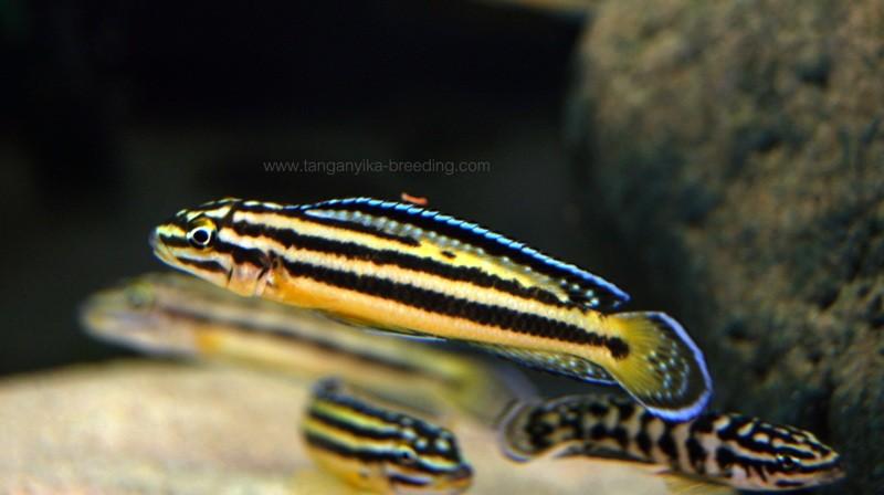 юлидохромис, юлидохромис регана, юлидохромис регана кипили, julidochromis, julidochromis regani, julidochromis regani kipili, julidochromis marksmithi