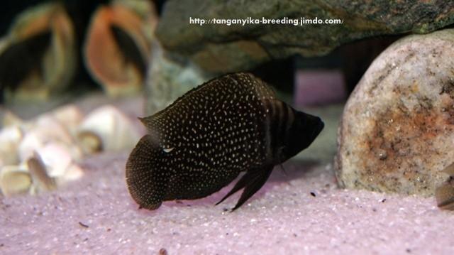 Altolamprologus calvus black pectoral (молодой самец)