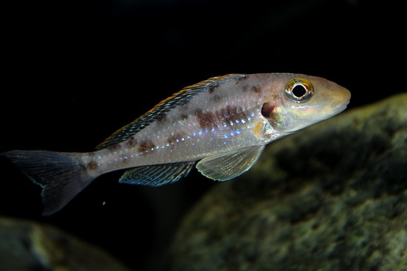 Xenotilapia papilio Isanga самка
