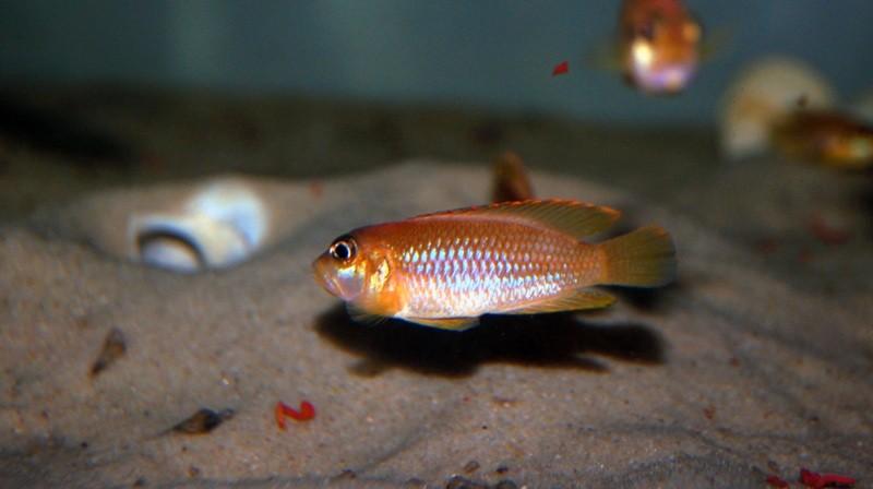 Lamprologus ocellatus orange самка
