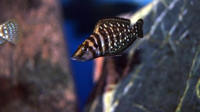 Altolamprologus calvus black pectoral 4см