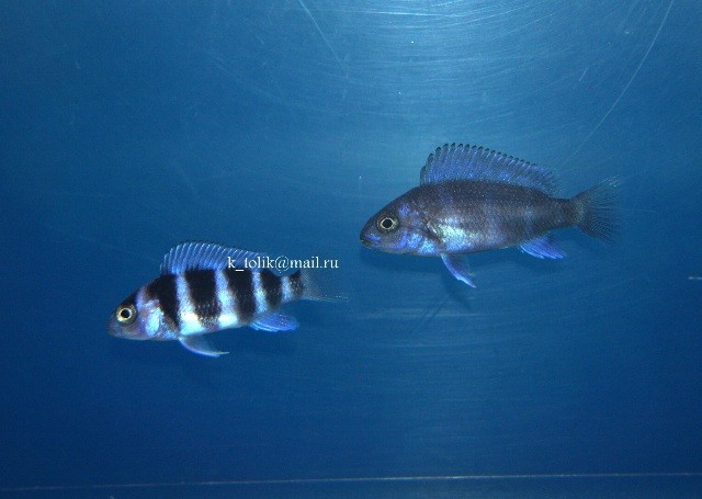 Cyphotilapia gibberosa blue Zaire Moba (малек)