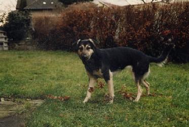 """Charla, war mein erster und fröhlichster Hund - meine """"Marilyn Monroe"""". Leider starb sie schon mit zwei Jahren an den Folgen einer Narkose!"""