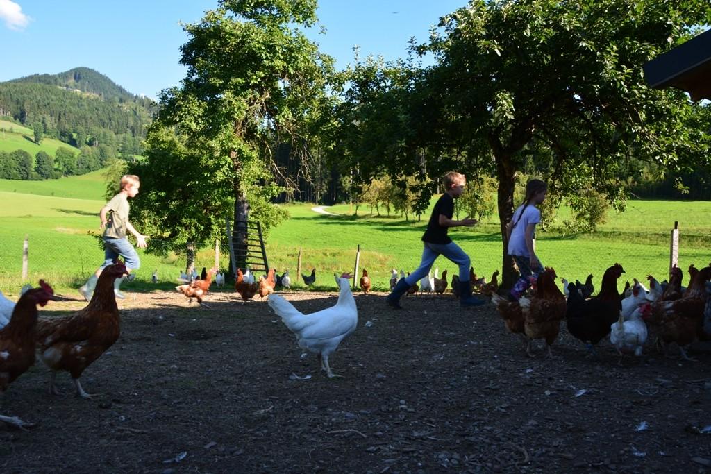 Die Hühner werden am Abend reingeholt