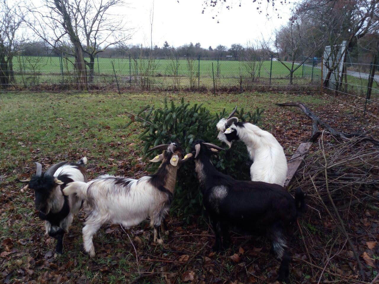 Weihnachtsbaum für die Ziegen