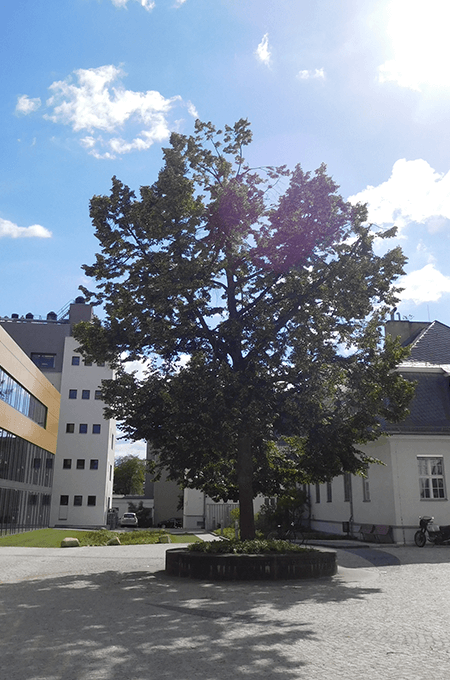 NACHHER: Fritz-Haber-Linde (Juni 2017)