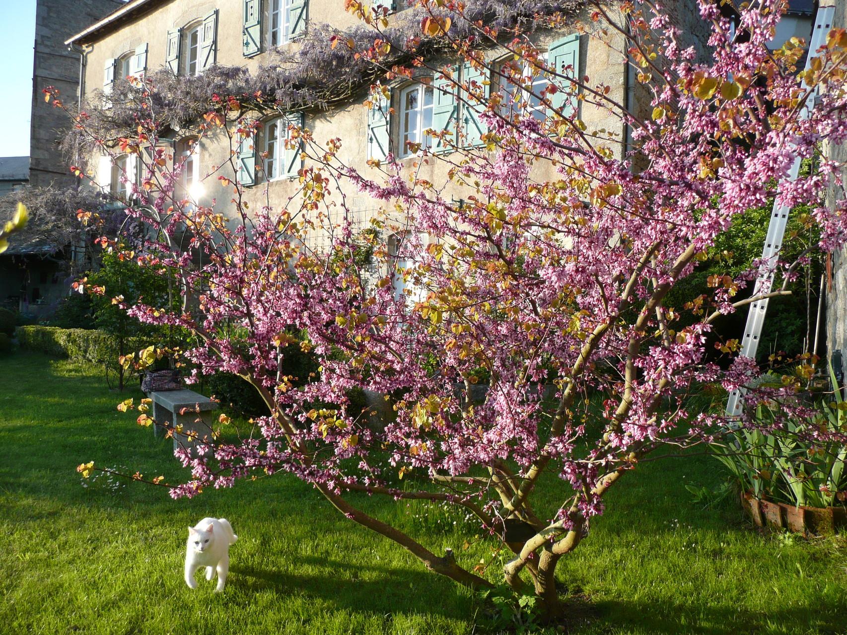 Witty sous l'arbre de Judée en mai