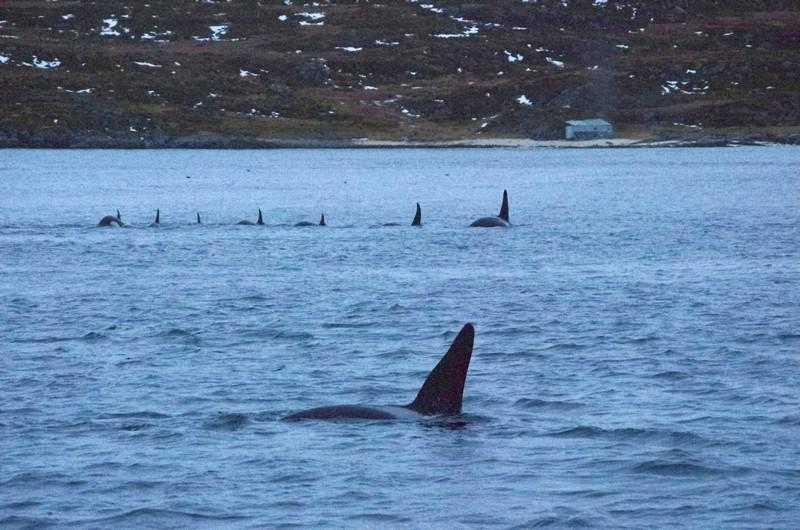 auf Walsafari in der Nähe von Tromsø