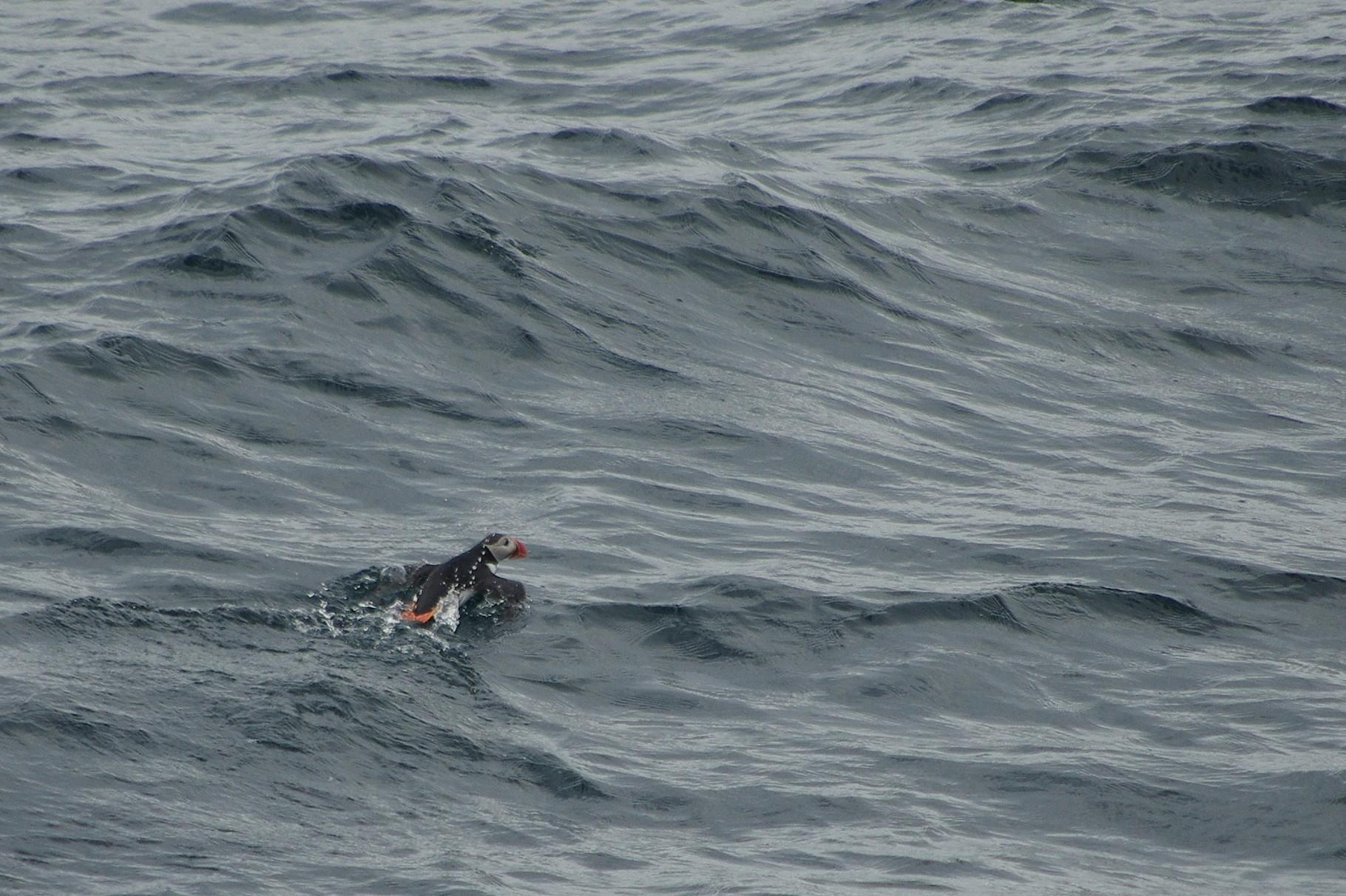 ... und Papageitaucher flüchten immer wieder vor unserem Schiff