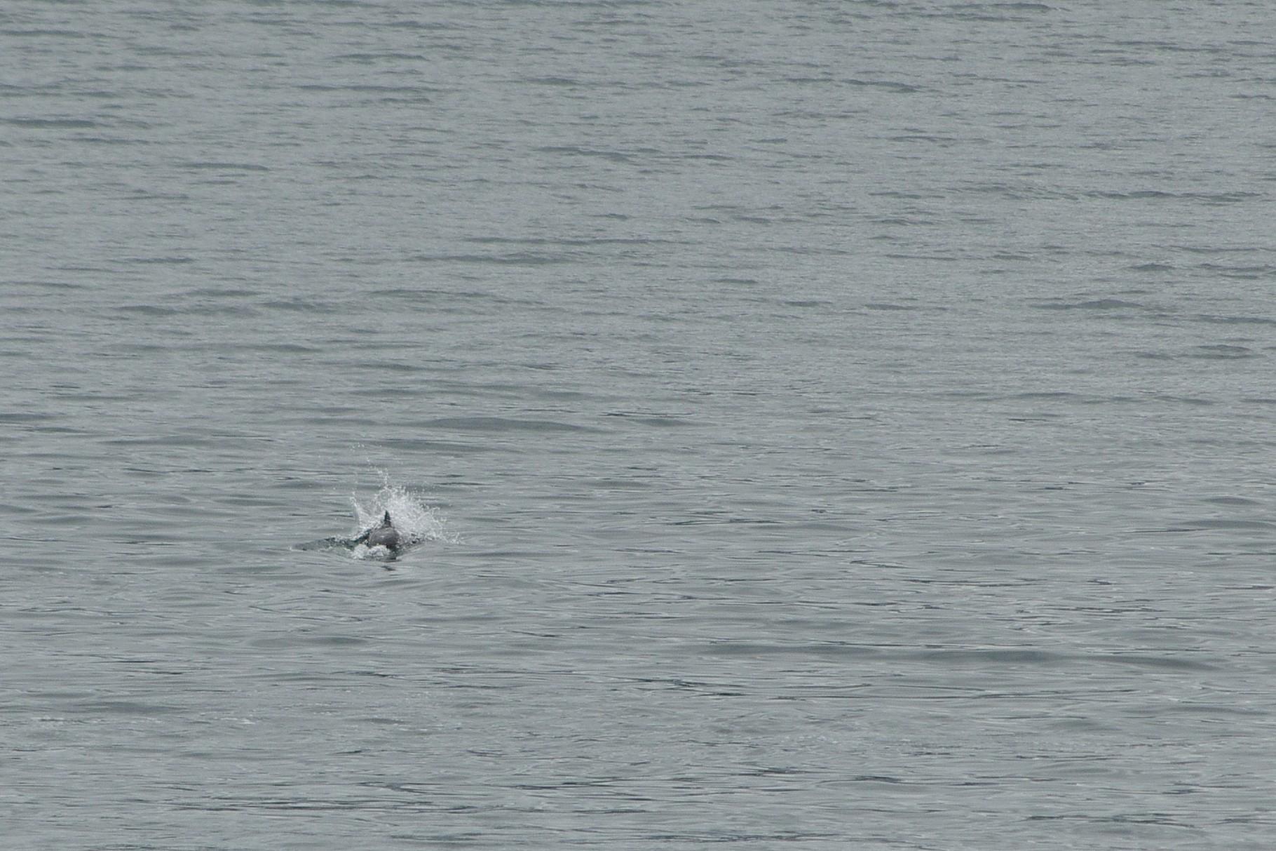 kurz vor Tromsø taucht dieser Kerl hier für einen Moment aus dem Wasser auf - wahrscheinlich ein Schweinswal