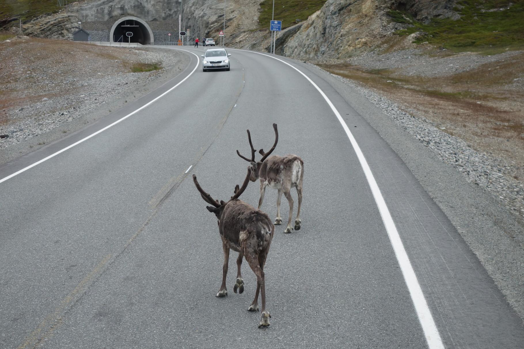 weiter gehts nach Hammerfest und immer wieder sehen wir Rentiere auf der Straße