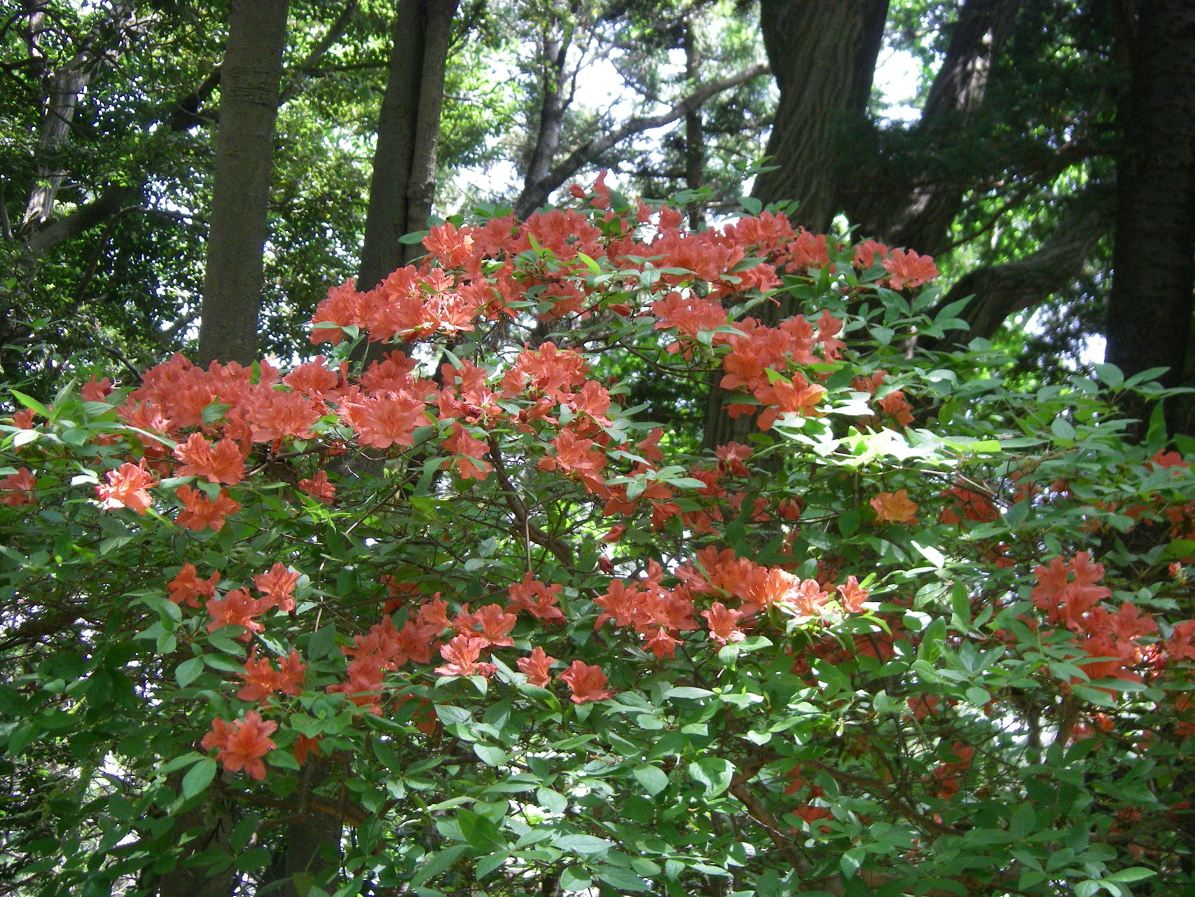 今回は数本の木で咲いていました