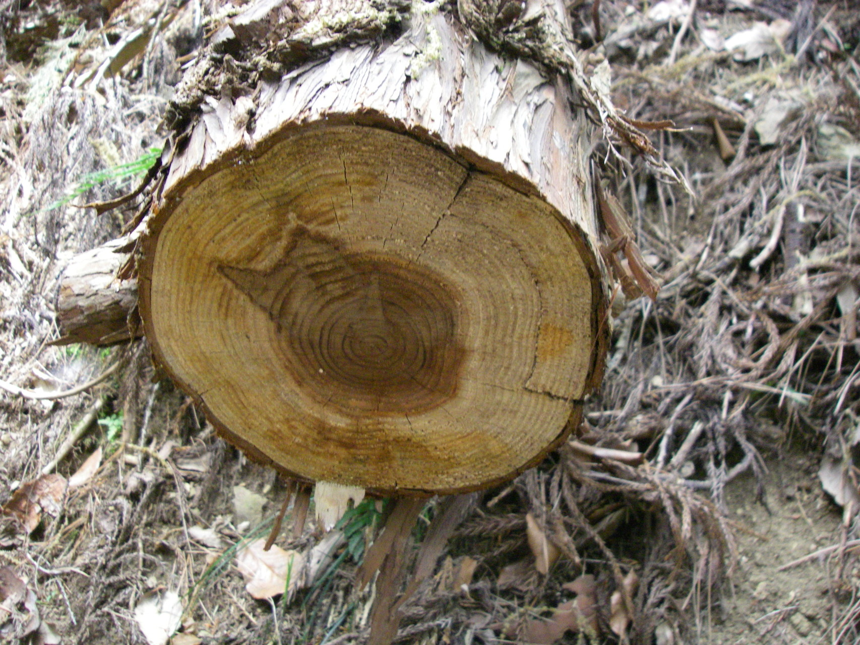 この木が25cmぐらいだったと思います、他にも何本も倒れていました