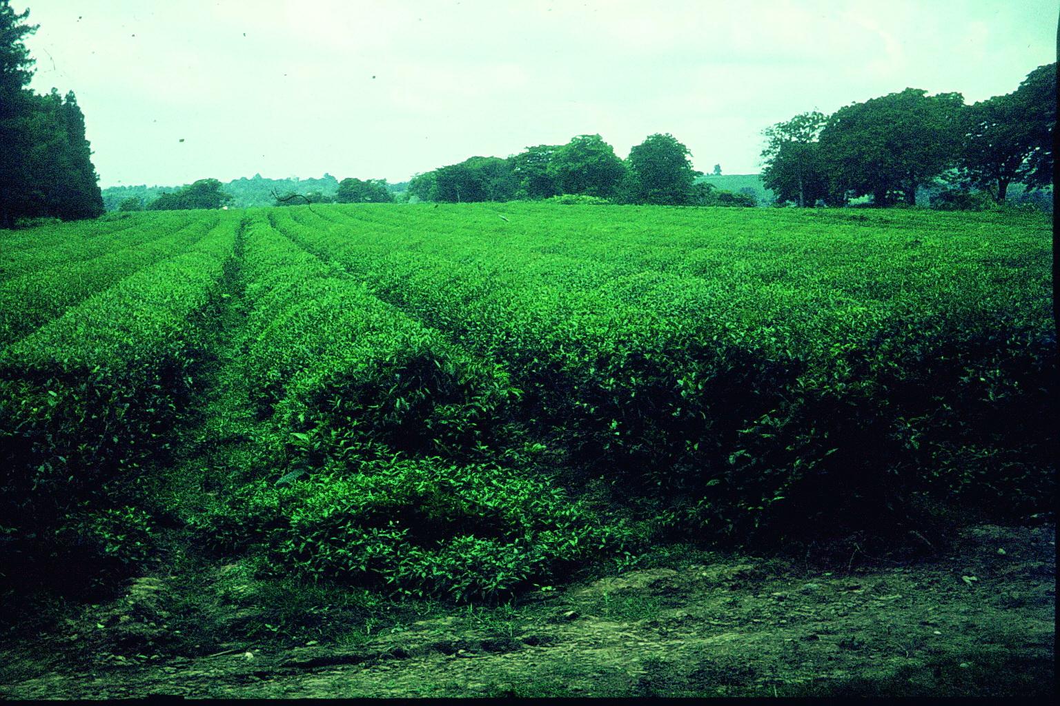 Teeplantage in Georgien