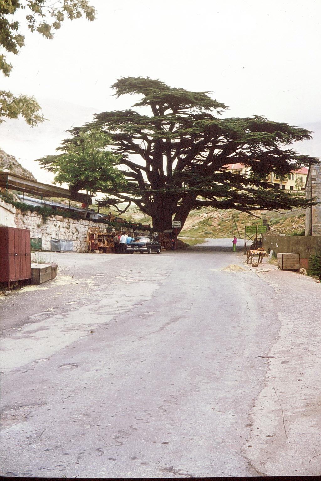 Die Zedern im Libanon