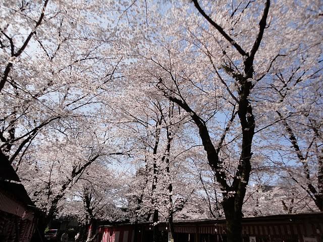 誰も見てなかったけど、昼間に見るとこんなにきれいな桜でした~。