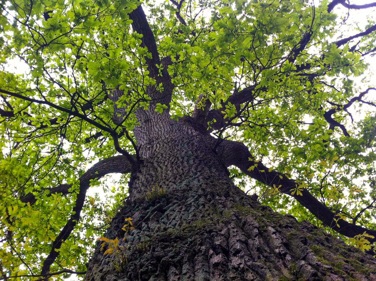 Eine erwachsene Eiche. Nach uns der Wald.