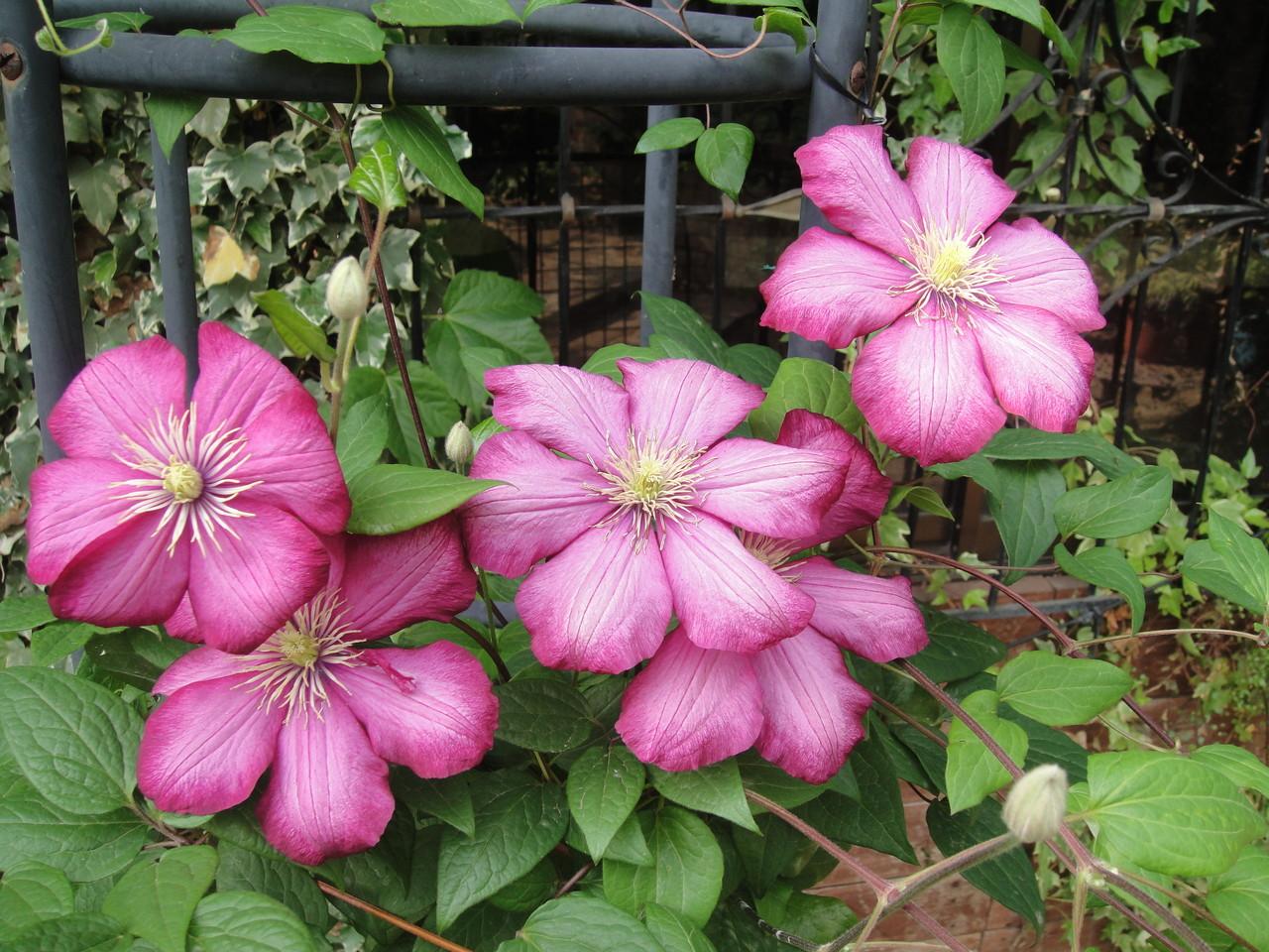 今にも開花しそうでなかなか開花しなかったクレマチス。一気に5輪が開花