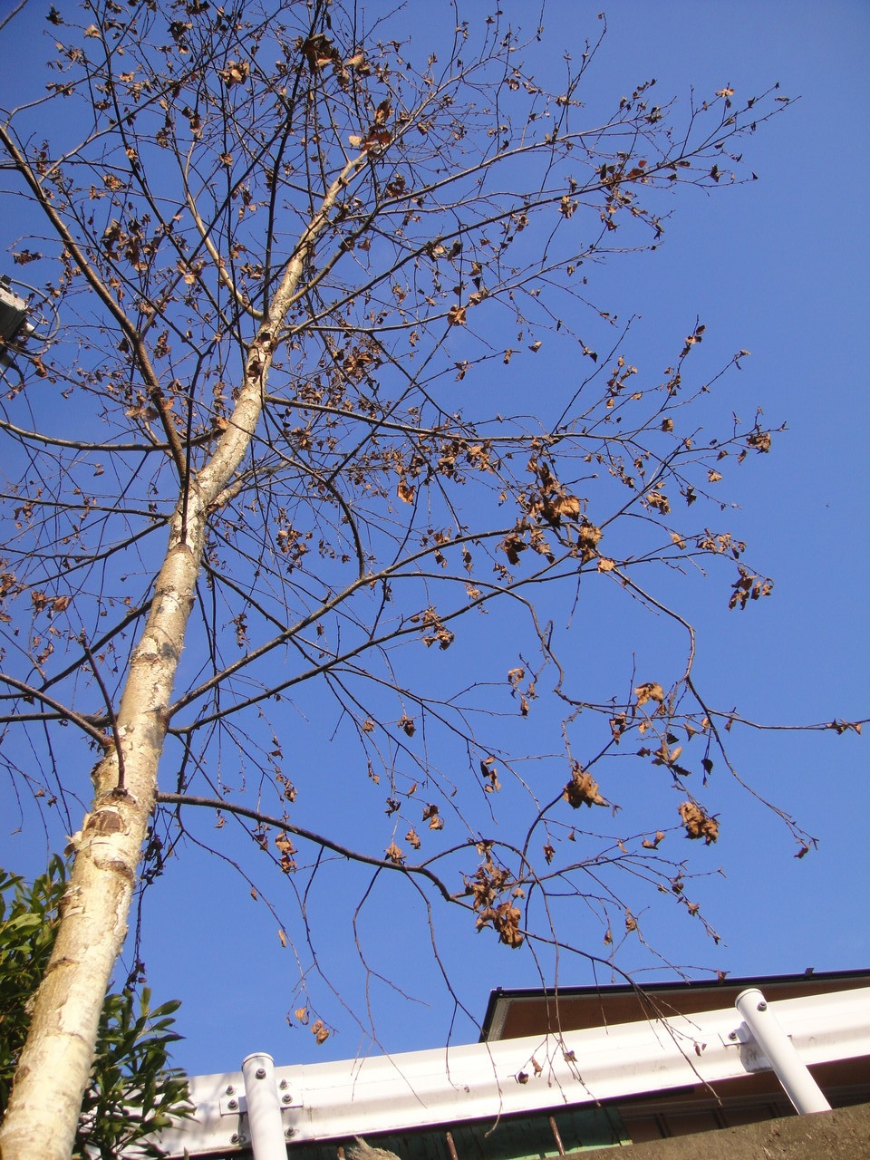 パープル色の葉が、太陽に反射してキラキラした白樺立ち枯れてしまいました。