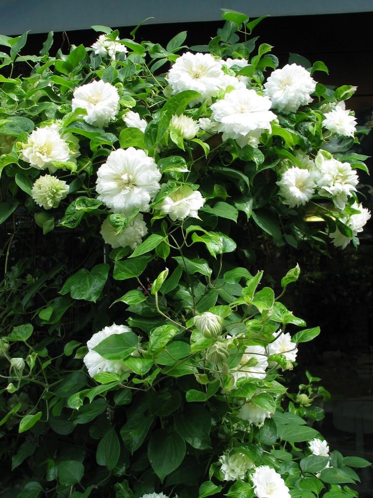 花芽も50個以上ツルの先から開花するんですね。?