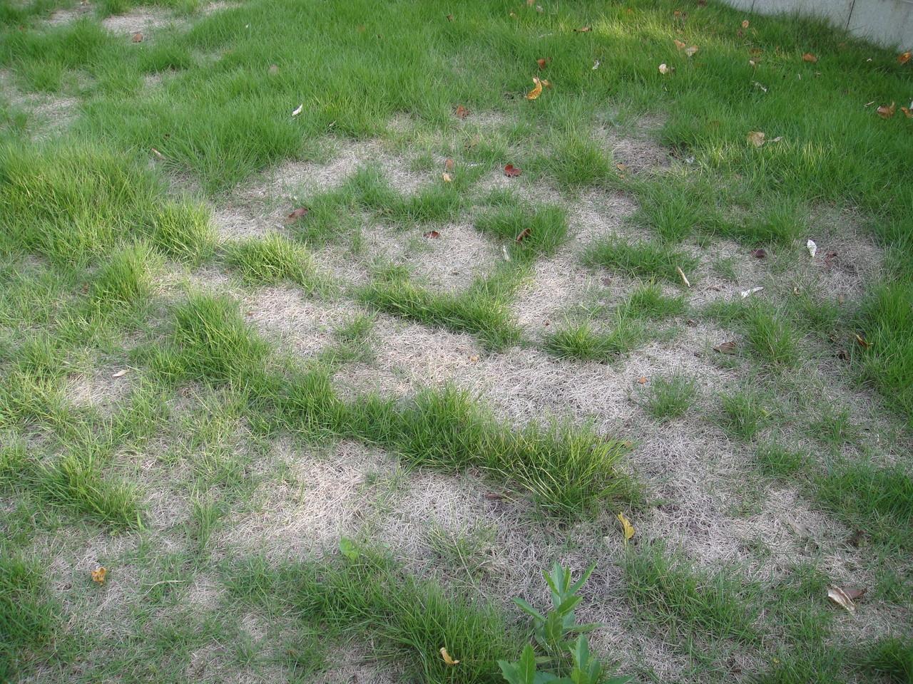 芝生もかなりの被害水くれが、間に合わなかったかなあ~