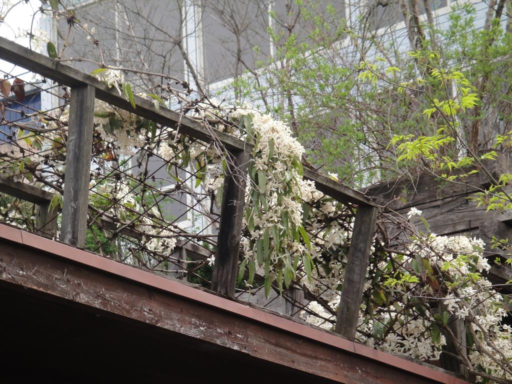 生育が旺盛なので、フェンスやアーチにからませたり、鉢植えの場合は、支柱を、立てたりしますが、家では、ご覧の通り屋上いっぱい状態に