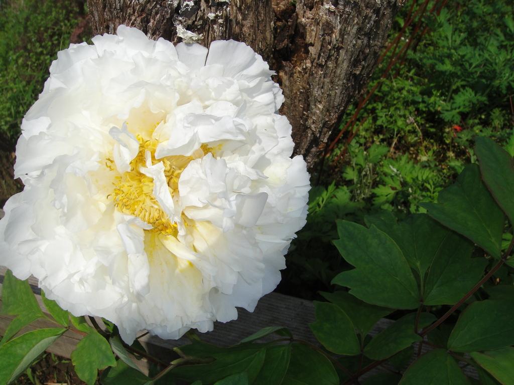真っ白な牡丹、きれいです。