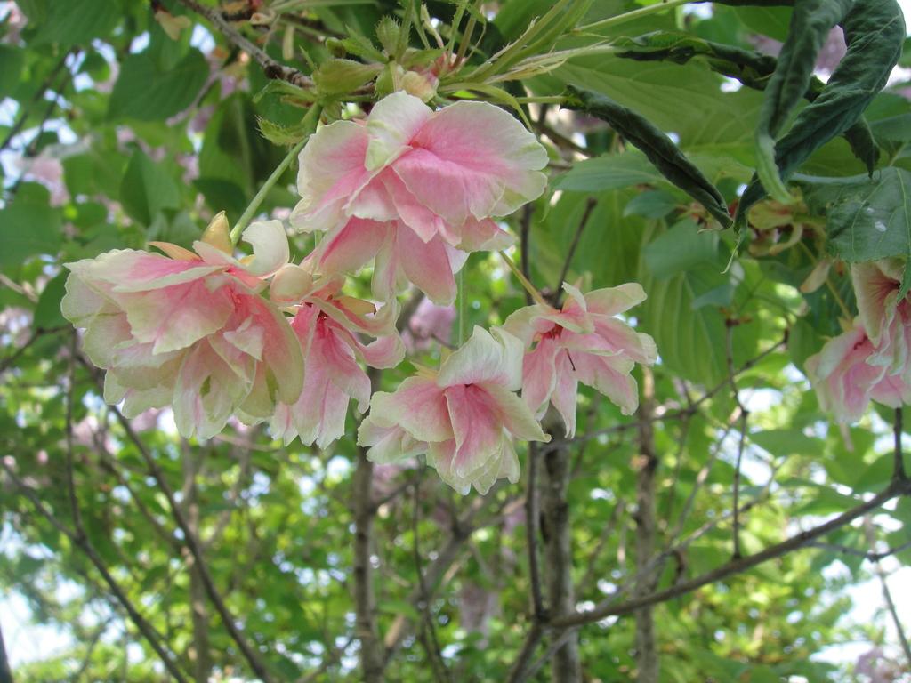 緑色の桜、御衣黄 緑の花と赤みがかった花が混在していてとても綺麗ですね。