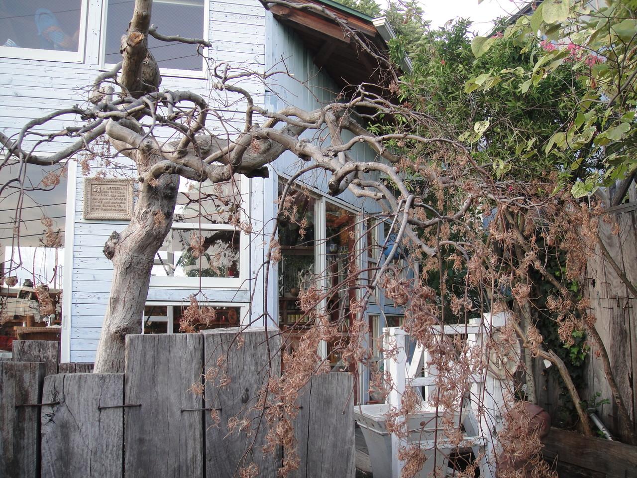 屋上ガーデンのシンボルツリーで、盆栽仕立ての五色枝垂のモミジ。赤紫色の芽吹き葉に白斑が混じり、葉柄は黄味を帯びるなど色彩豊かな枝垂れ