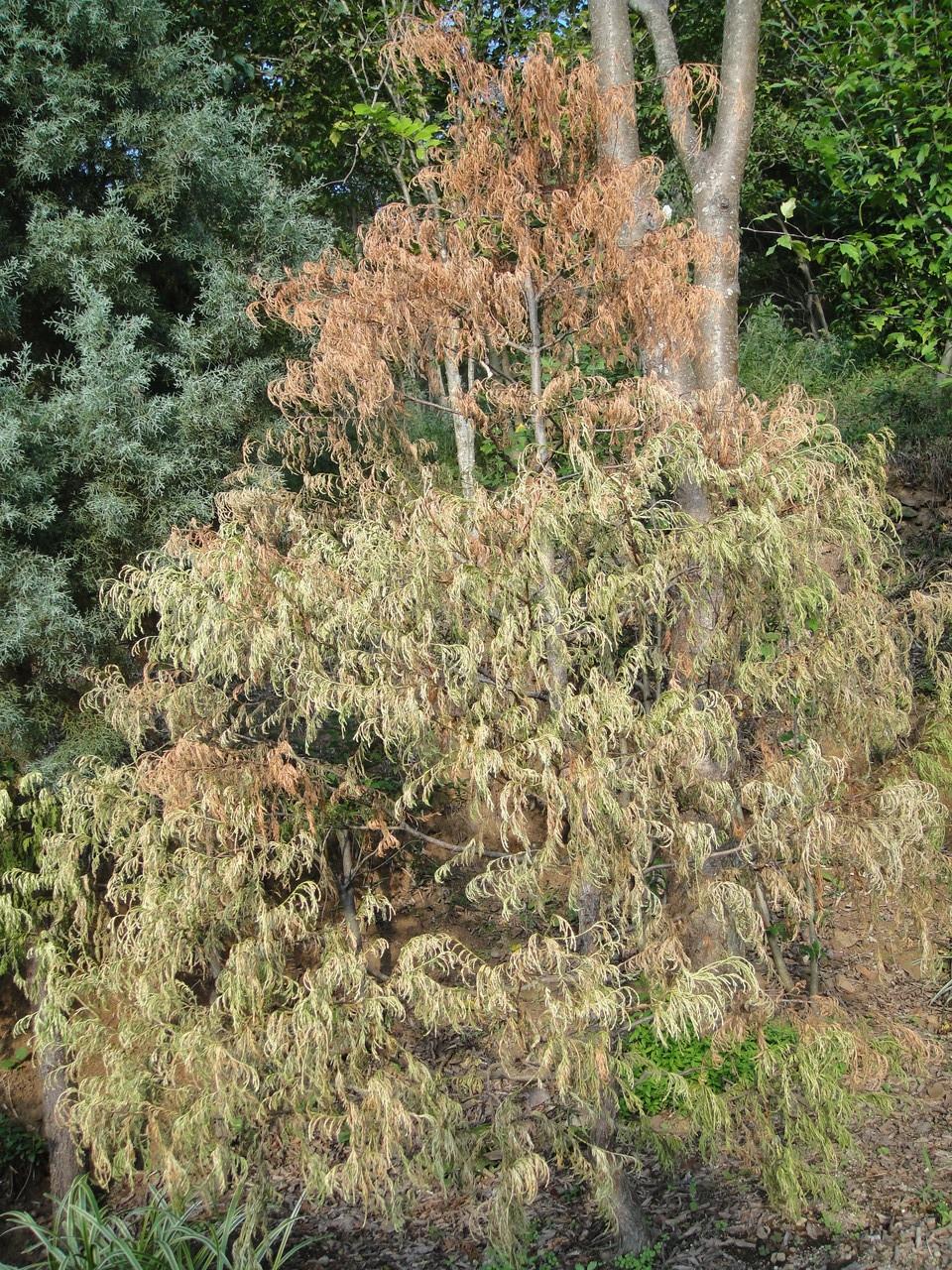 このコニファーも5年以上盆栽仕立てにしてやっと形よくなってきたのにガッカリです。
