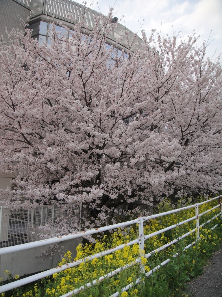 足利会館東側の桜AM6時頃散歩途中に撮影