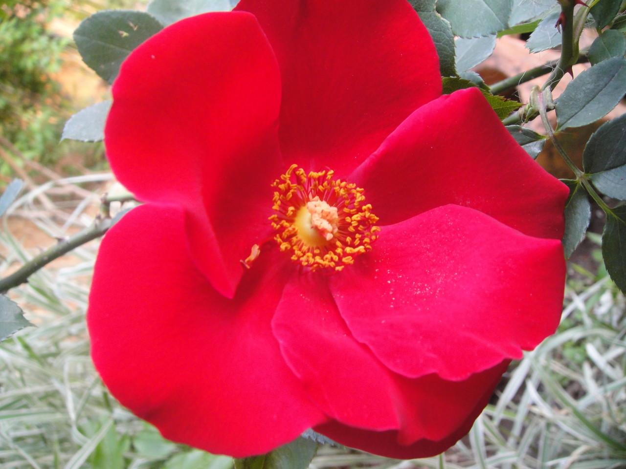 一重のビロードのような質感のこのバラ。真っ赤な色で庭の中でとてもよく目立ちますその名は、アルテシモ(Altissimo)