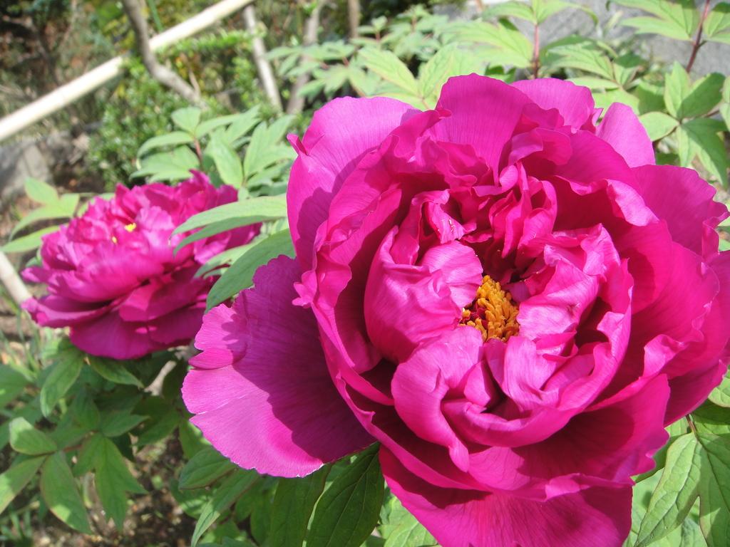 幾重もの重なり合う花びらに魅了されますね。