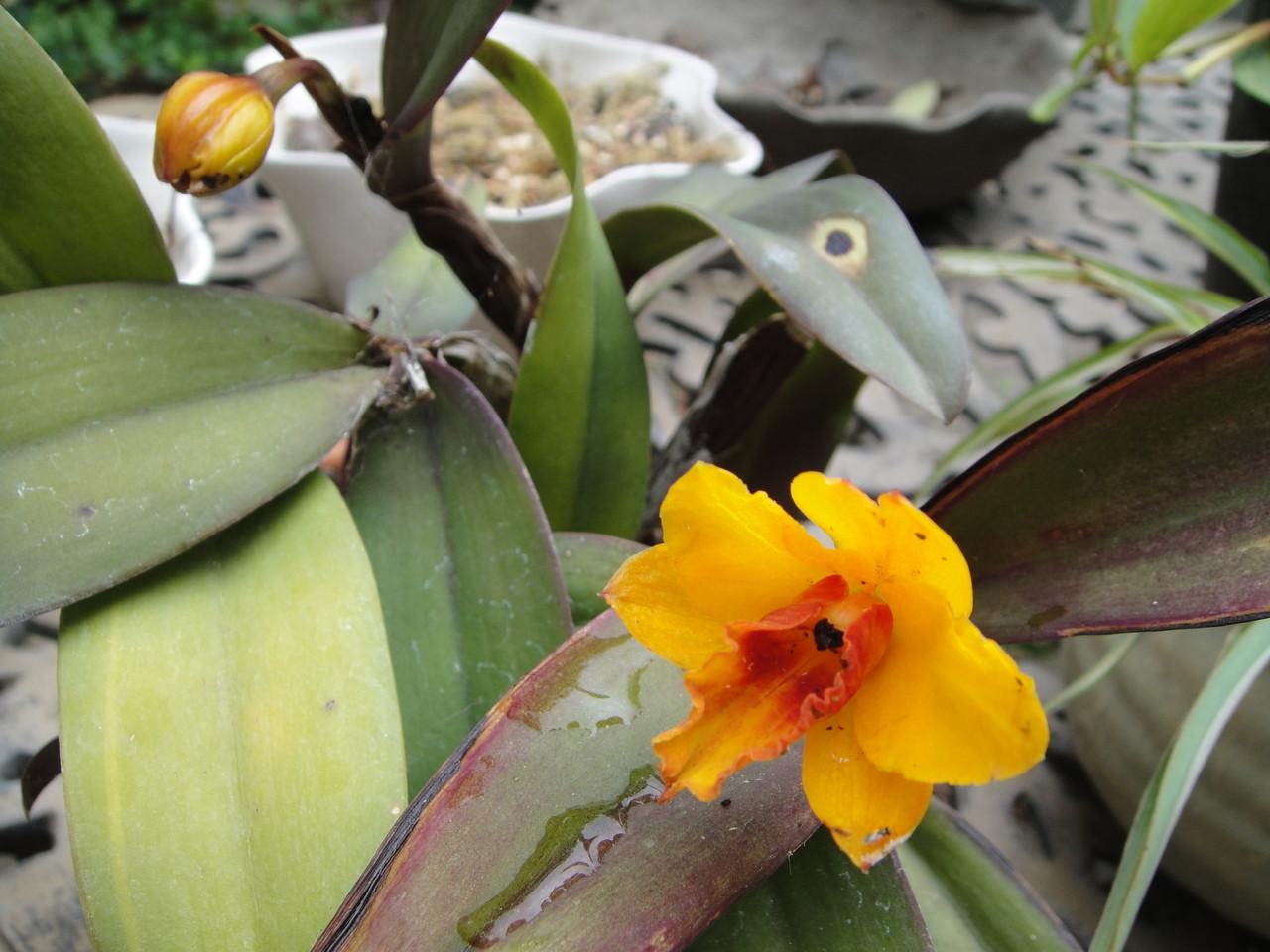 小さくてもさすがカトレアの風格がありますね。今年は、2つ蕾があります。毎年咲いてくれます。